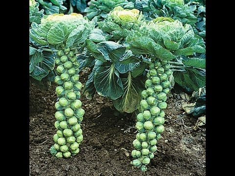 How To Grow Brussels Sprouts Pruning & Trimming #64 Heirloom Organic Vegetable Garden