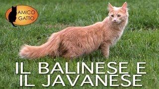 BALINESE e JAVANESE trailer documentary Il Balinese è un gatto molto socievole, ama molto giocare e accade spesso che, anche in eta' adulta, si lanci in ...