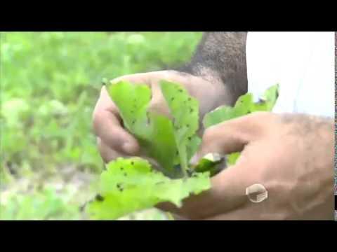 Em Jatobá do Piauí, produtores se frustram com safra de melancia