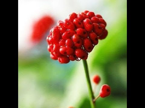 Panax Ginseng Helps With Aging, Diabetes, Immune, Cancer, Brain, Wounds, Ulcers