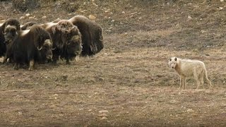 Wolves Vs Herd of Muskox - Snow Wolf Family And Me - BBC