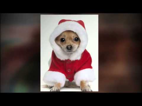 Funny Chihuahua Clothes and Costumes