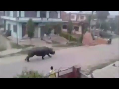 民眾無意間拍到一隻「超巨大犀牛用時速100公里」猛追前面的機車騎士…