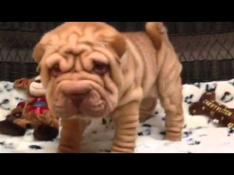 Wrinkles for days! Handsome Ore Pei puppy