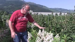 #182 Hydrangeasy - The compact growing Hydrangea paniculata (Pinky Winky)