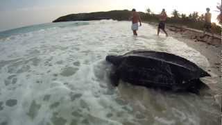 giant Leatherback Turtle Nesting in Daylight on Vieques - Very Rare! (subtítulos CC en español) - YouTube