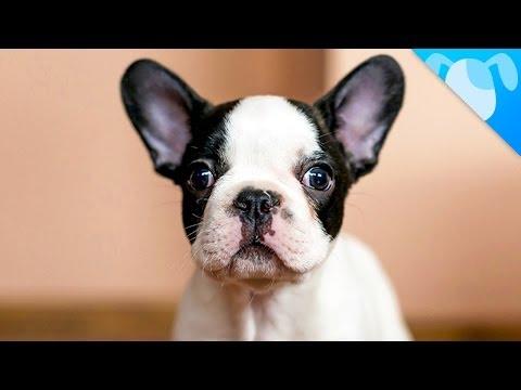 bulldog francese: un cane speciale!