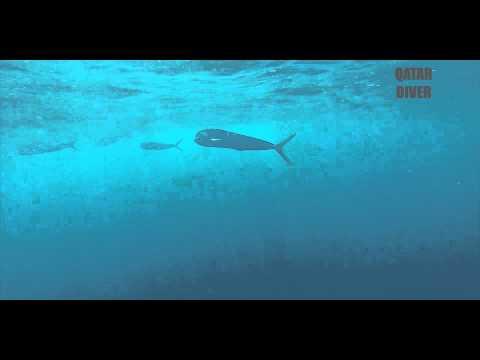 Qatar Diver Spearfishing Mahi Mahi in Qatar sea