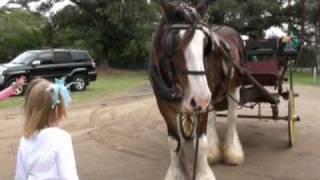 Morpeth Australia  city photos : BIRTHDAY PARTY IN MORPETH 2321 AUSTRALIA WITH JULIET THE CLYDESDALE