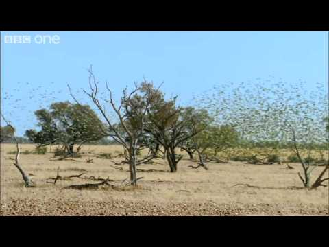 Budgerigars flying past Uluru and swarming (Narrated by David Tennant) - Earthflight - BBC One