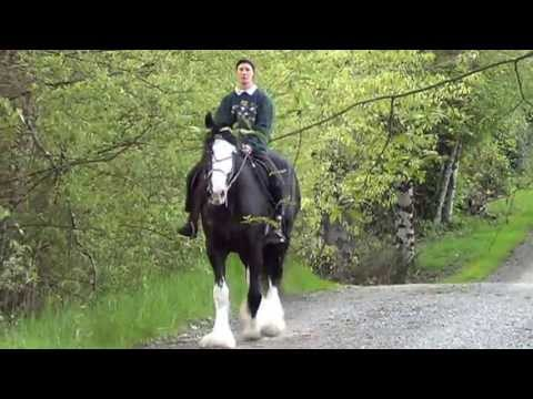 Chesterfields Lucy Lou, Shire Mare! (видео)