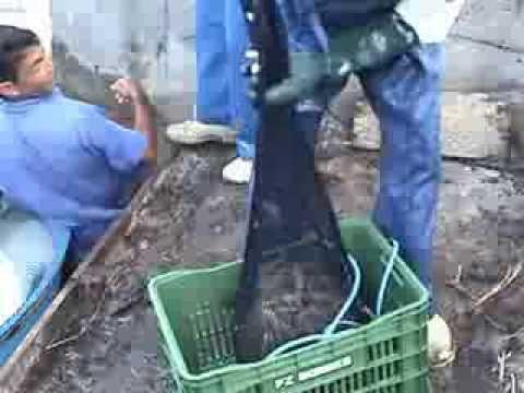 Harvesting Farmed Shrimp