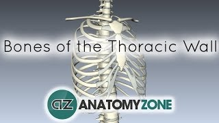 Bones Of The Thoracic Wall - 3D Anatomy Tutorial