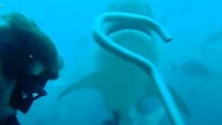 Beqa Island Fiji  city photos gallery : Tiger shark feeding off Beqa Island / Fiji