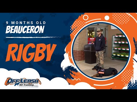 Wow! 9-Month Old Beauceron, Rigby! Amazing Before/After Video! Beauceron Dog Trainers Virginia