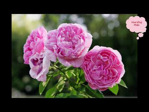 Những loại hoa hồng cực đẹp ở Việt Nam