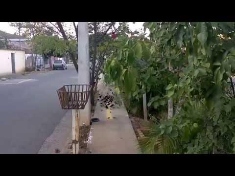 Dezenas de pássaros se alimentando na calçada em Resplendor MG