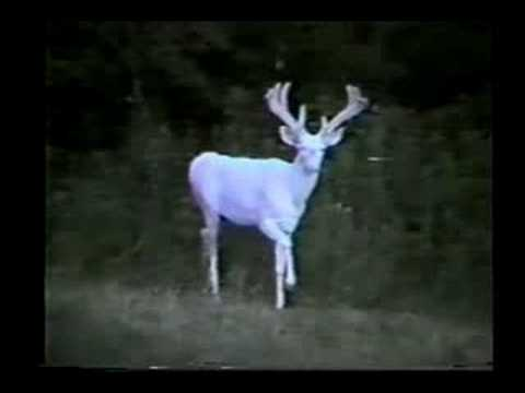 Biggest Albino Deer In The World Albino white-tailed deer