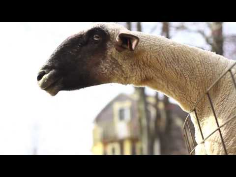 Goats Yelling Like Humans Supercut