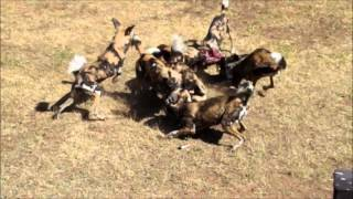 Dubbo Australia  city images : African Wild Dogs Eating - Western Plains Zoo, Dubbo, Australia