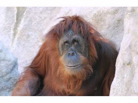 Happy Birthday! Funny Birthday Videos – Ollie the Orangutan