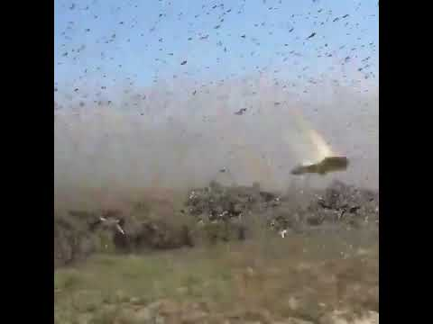 Video Of A Locust Plague In Russia
