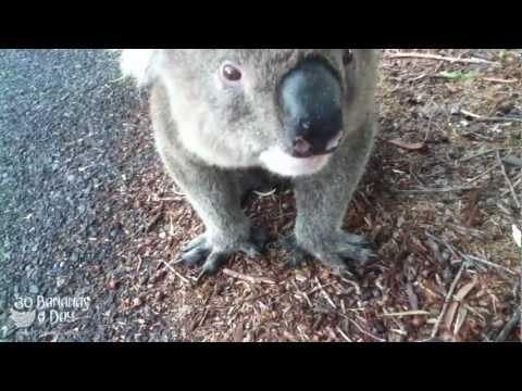 Cyklist stillar törsten hos en koala