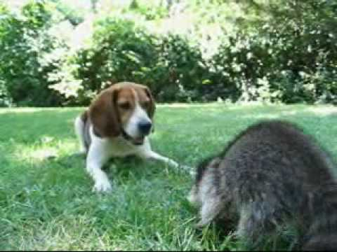 beagle and raccoon!