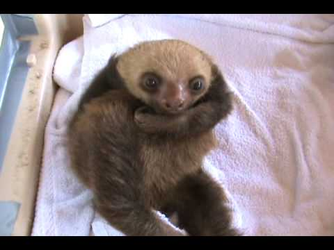 The Funniest Baby Sloth Video Ever!
