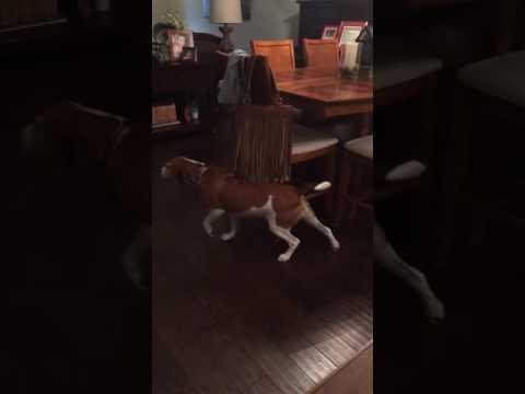 Este beagle ha encontrado el placer absoluto con este bolso