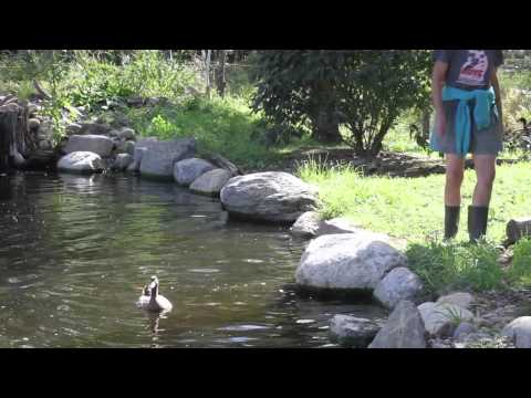 Neglected Ducks see water for the first time
