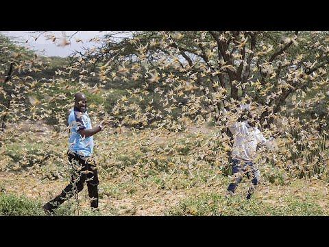 Ostafrika (Kenia): Riesige Heuschreckenplage - droht eine Hungersnot?