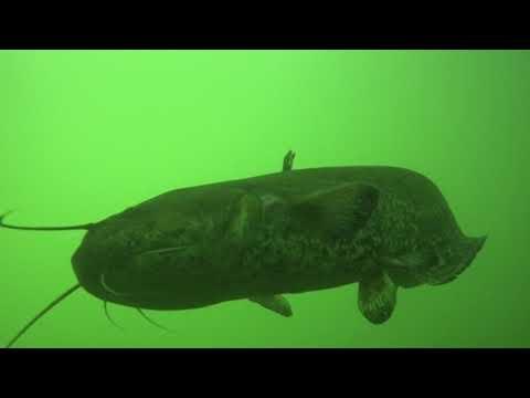 Som Kapitalac/Big Catfish in river Mrežnica Croatia