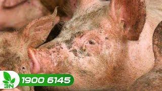 Chăn nuôi lợn   Biện pháp can thiệp khi lợn bị viêm ổ áp xe gây sưng tai