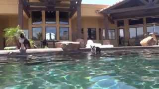Boston Terriers Swimming Like Michael Phelps