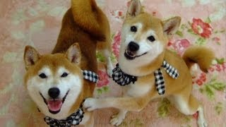 These Two Shibas Are The Cutest Couple!