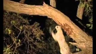 Video SUBHANALLAH...penyesalan seekor macan setelah memangsa induk kera.FLV MP3, 3GP, MP4, WEBM, AVI, FLV Oktober 2018