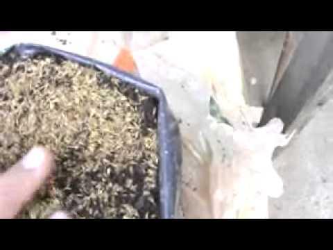 Como sembrar semilla de ESTEVIA REBAUDIANA   How to grow STEVIA by seed at home