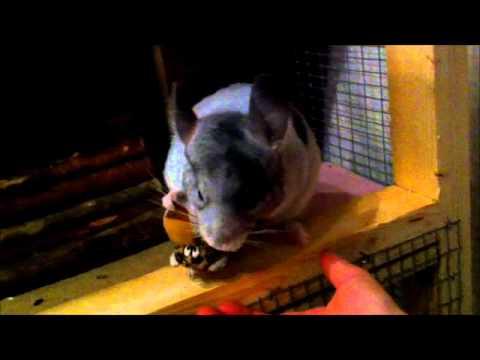 Chinchilla grooming stuffed animal