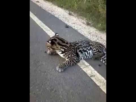 Gato-maracajá resgatado em José Gonçalves de Minas