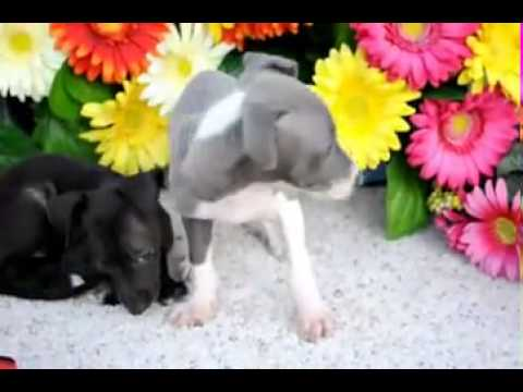 Zeek Italian Greyhound (video) shipping included