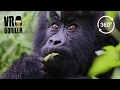 Kissed By A Wild Mountain Gorilla (360 VR Video 4k)