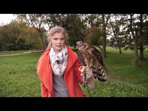 Ястреб-тетеревятник для соколиной охоты