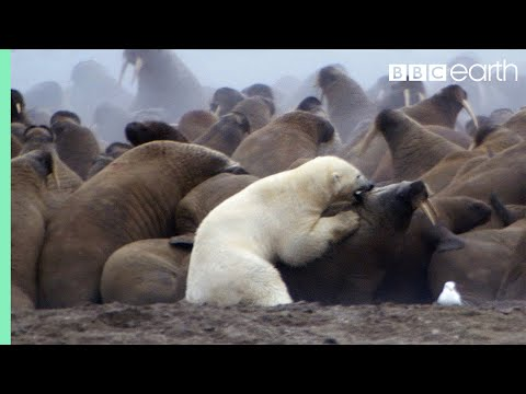 Polar Bear Vs Walrus | Planet Earth | BBC Earth