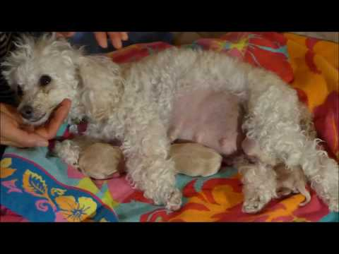 Toy Poodle giving birth to 5 healthy Maltipoo puppies – Macy, Day 59