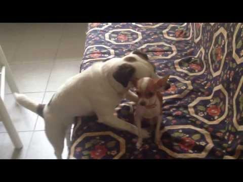Jack Russell (castrato) e Chihuahua in calore, ma lui si fa il divano !!!