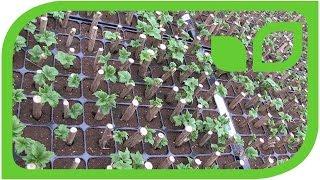 Steckholz-Vermehrung von Johannis- und Stachelbeeren