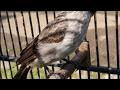 Burung kutilang gacor full untuk pikat