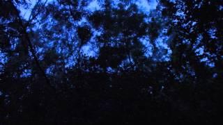 Paluma Australia  city photos : The sounds of a Riflebird in Paluma, Australia