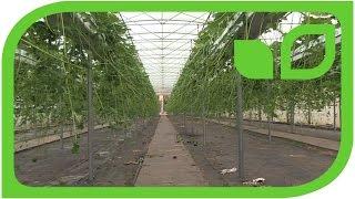 Die Erdbeervermehrung Teil 2